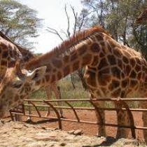 Giraffe Center - Nairobi Day Tour